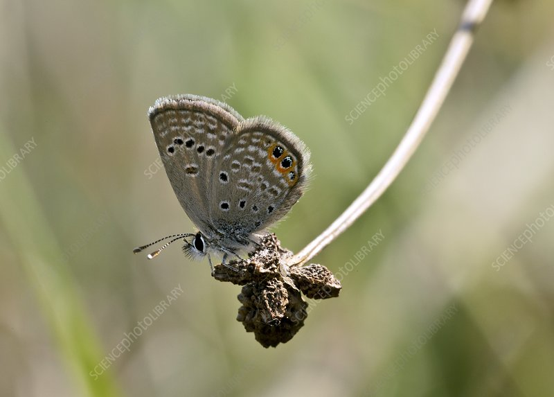 Grass jewel butterfly