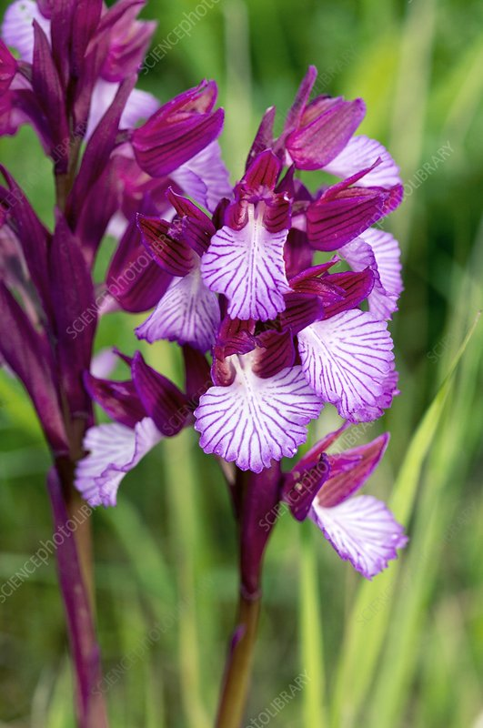 Butterfly orchids (Orchis papilionacea)
