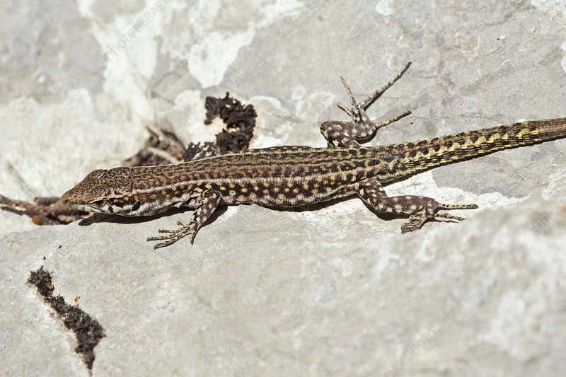 Bedriaga's rock lizard basking