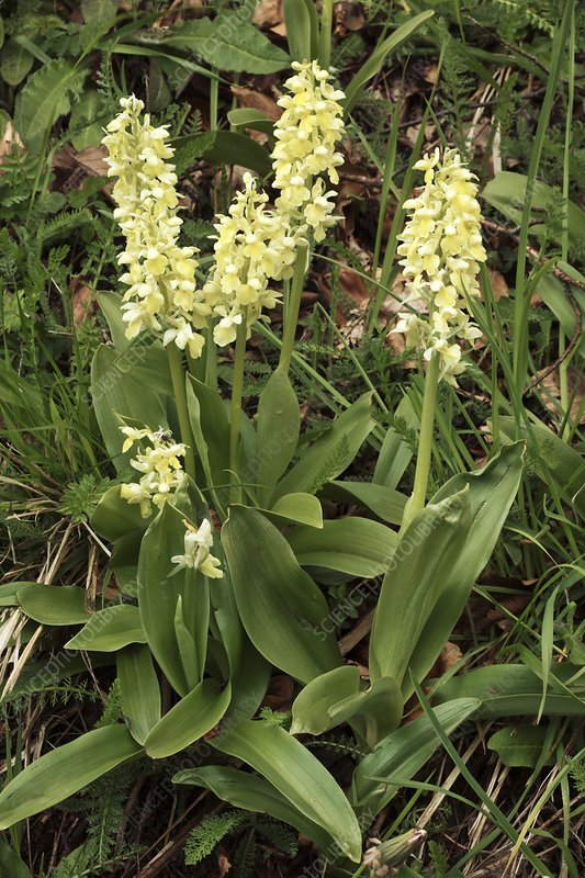 Pale orchids (Orchis pallens) in flower