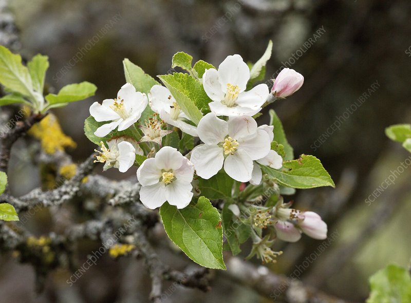 Crab apple (Malus sylvestris) blossoming