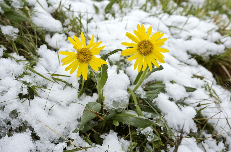 Senecio doronicum gerardii in snow