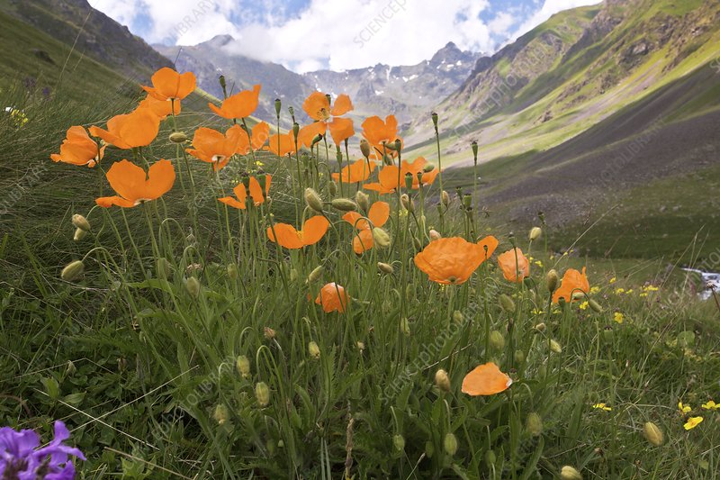 Orange poppies on a mountainside