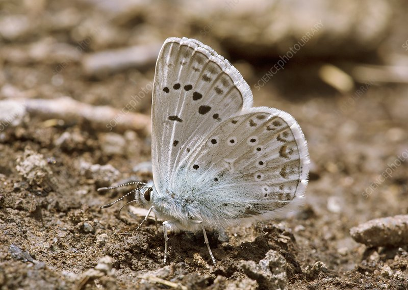 Zephyr blue butterfly mud-puddling