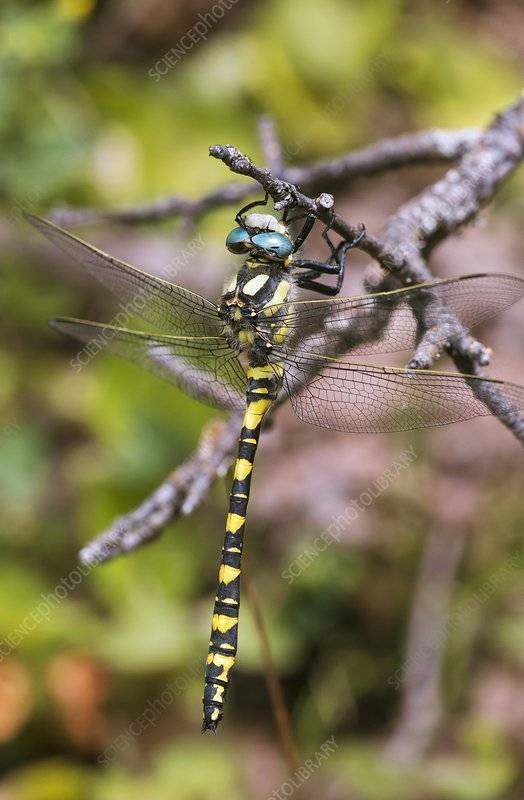 Blue-eyed golden-ringed dragonfly