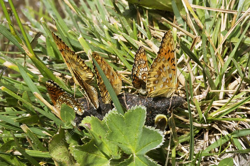 Dark green fritillaries mud-puddling