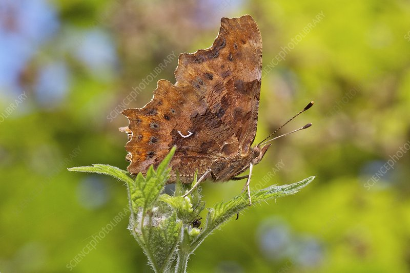 Comma butterfly resting