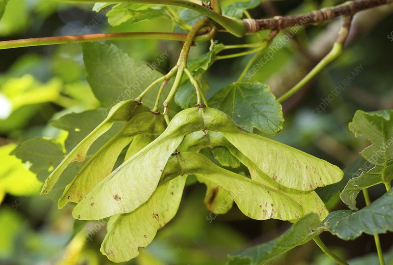 Ripening sycamore fruit