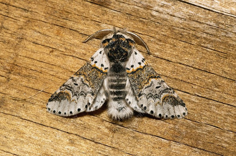 Sallow kitten moth resting