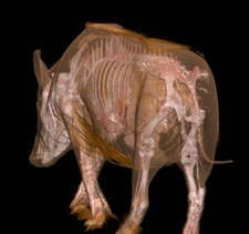 Boar anatomy, CT scan