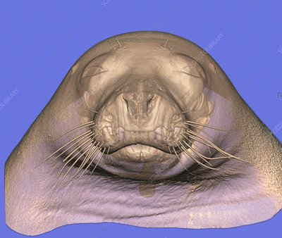 Seal's head, CT scan