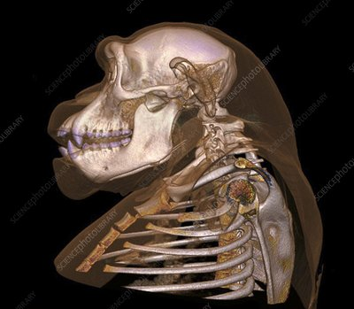 Chimpanzee head and skull, CT scan