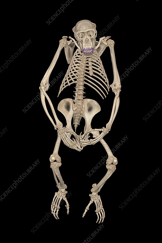 Chimpanzee skeleton, CT scan