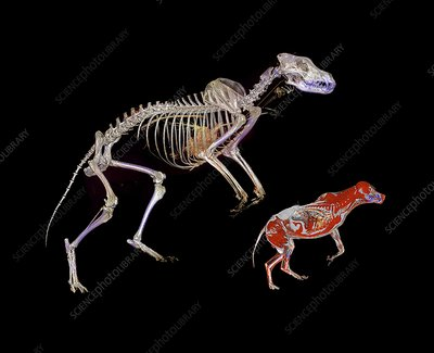 Bear skeleton and wolf, CT scan