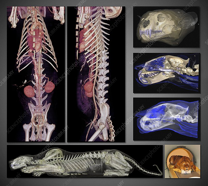 Lion, CT scans