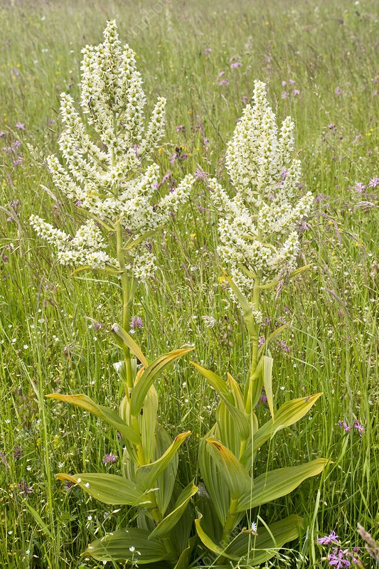 False helleborine (Veratrum album)
