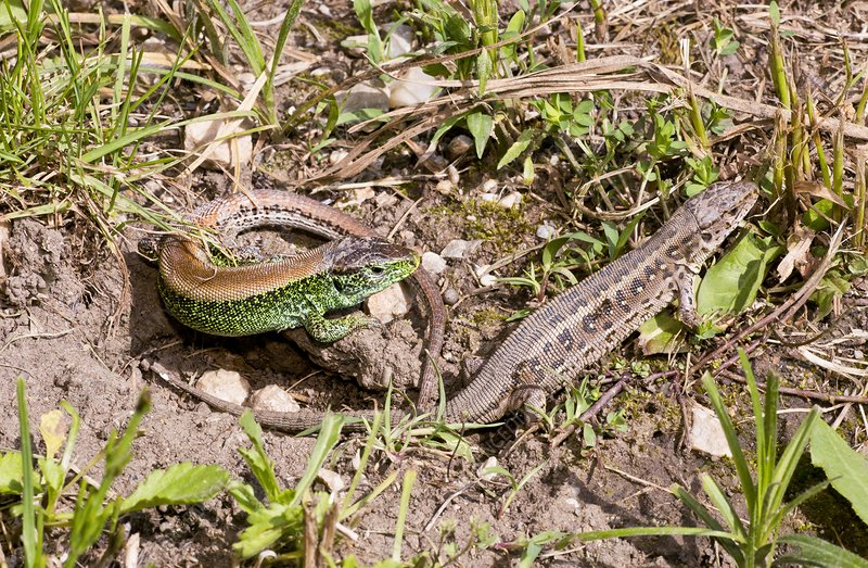Sand lizards courting