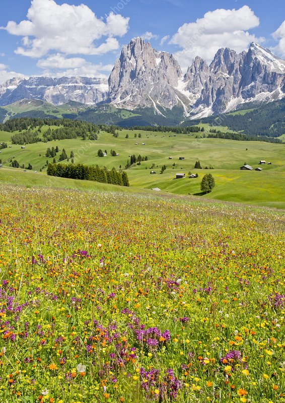 Flowery Alpine meadow, Italy