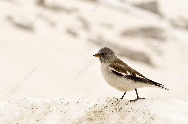 White-winged snowfinch on snow