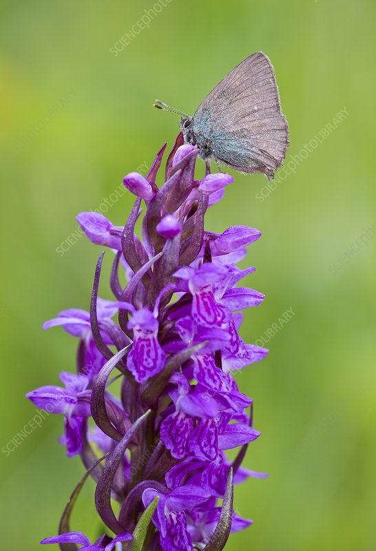 Green hairstreak butterfly on orchid