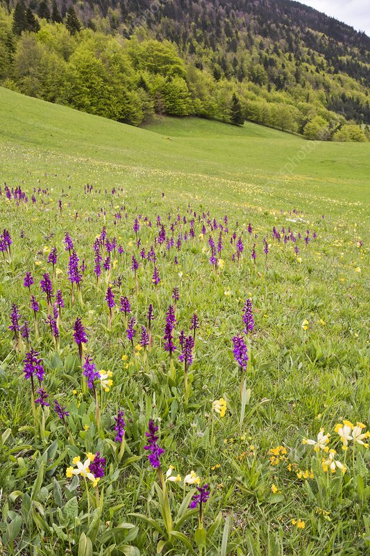Flowery Alpine meadow, France