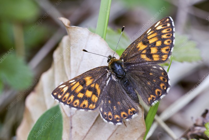 Male Duke of Burgundy butterfly