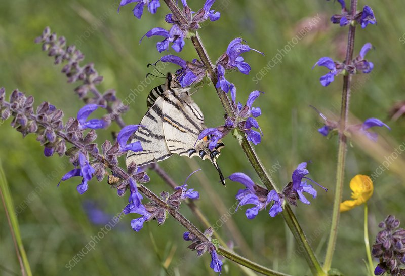 Scarce swallowtail on wild clary