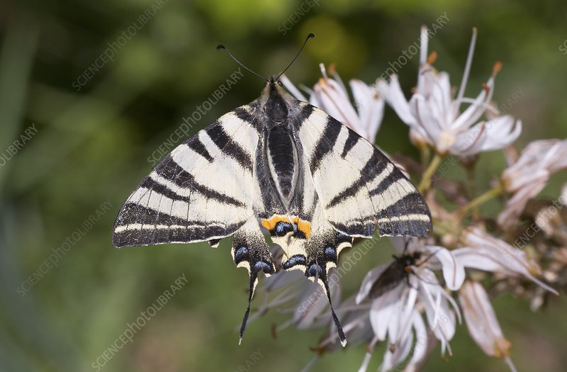 Scarce swallowtail on white asphodel