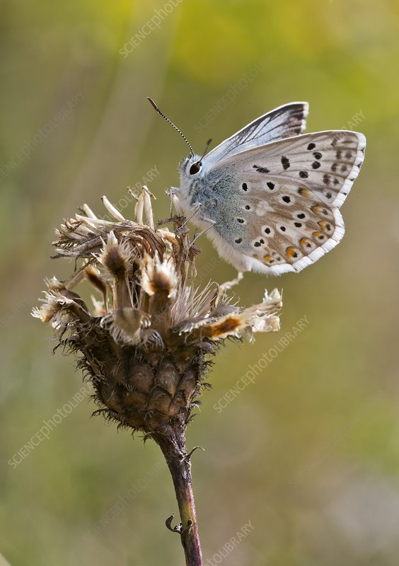 Chalkhill blue butterfly on knapweed