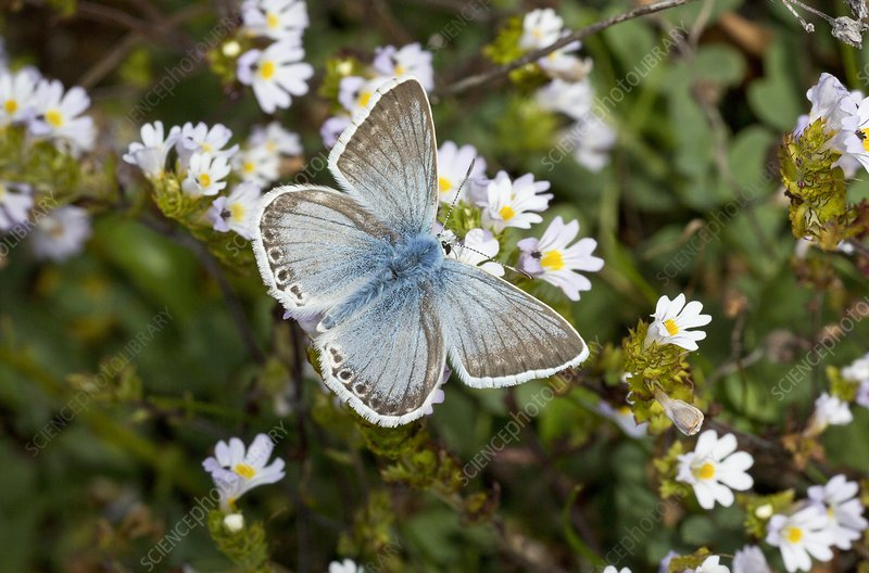 Chalkhill blue butterfly on eyebright