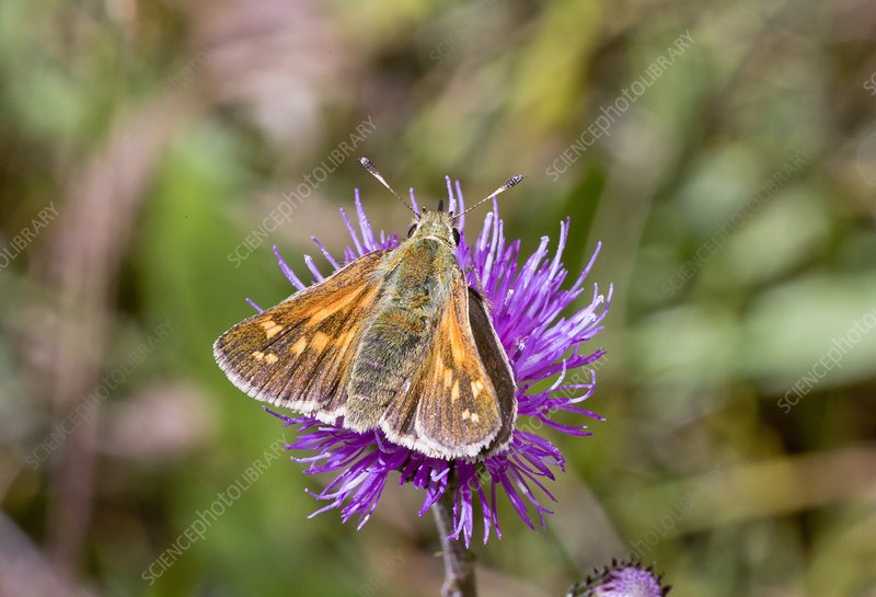 Silver-spotted skipper on thistle flower