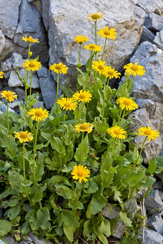 Leopardsbane (Doronicum grandiflorum)