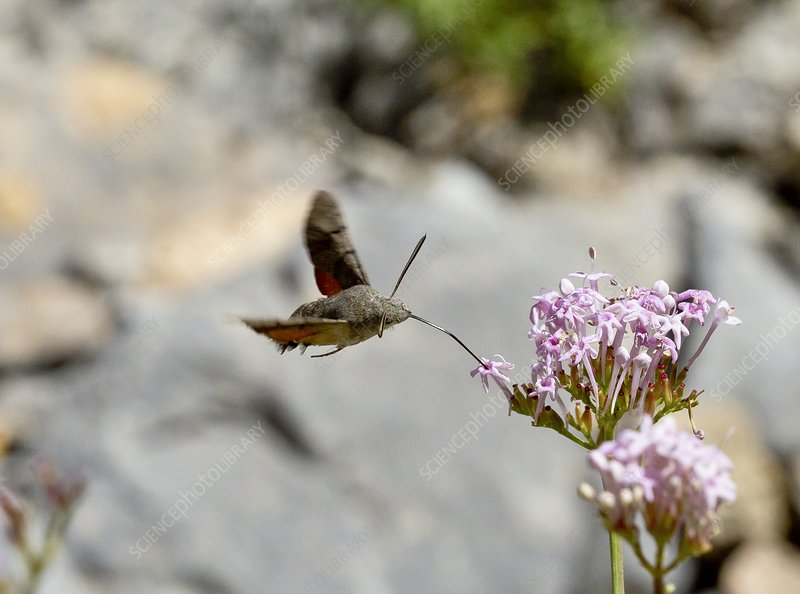 Humming-bird hawk-moth on valerian flower