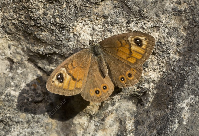 Male large wall brown butterfly