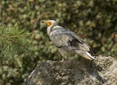 Egyptian vulture on rock