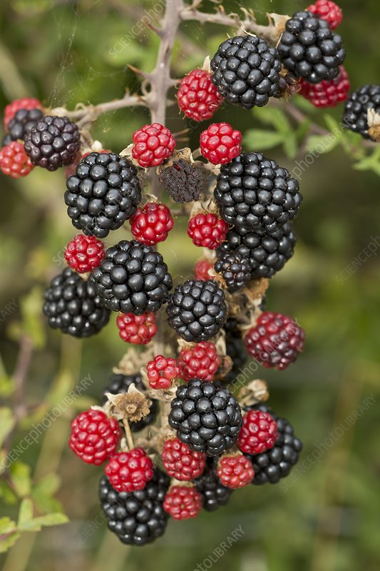 Blackberry (Rubus fruticosus) in fruit