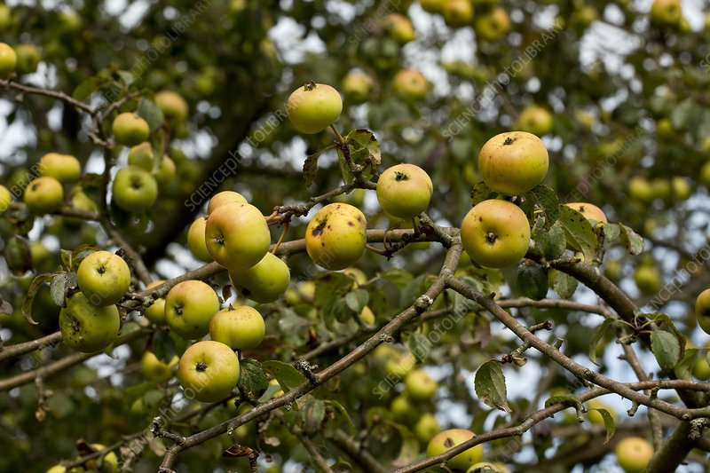Crab apple (Malus sylvestris) in fruit