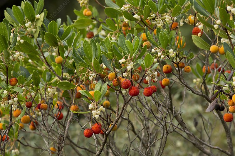 Arbutus unedo in flower and fruit