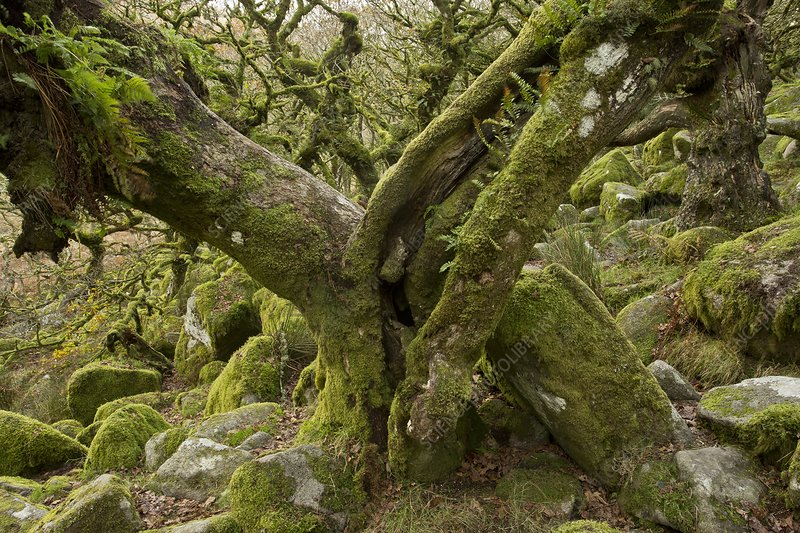Wistman's Wood, Dartmoor, UK