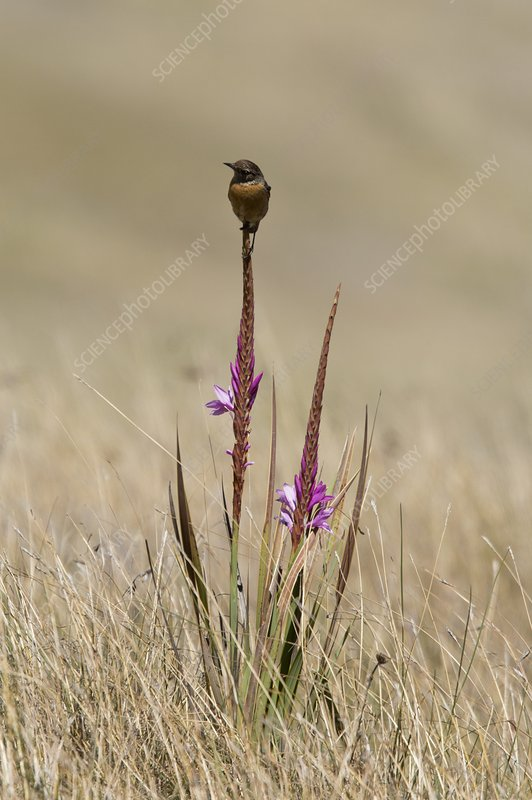 African stonechat on watsonia plant