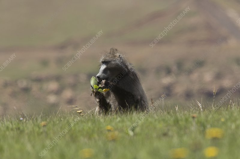 Male savannah baboon eating a flower