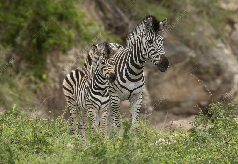 Plains zebra and foal