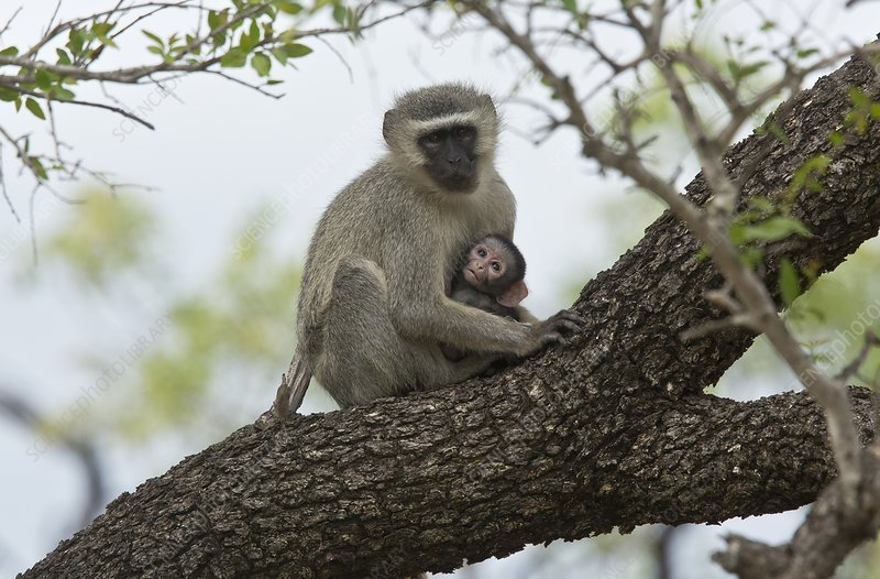 Vervet monkey and young