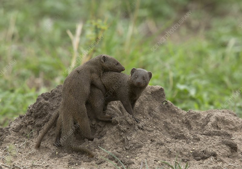 Common dwarf mongoose playing