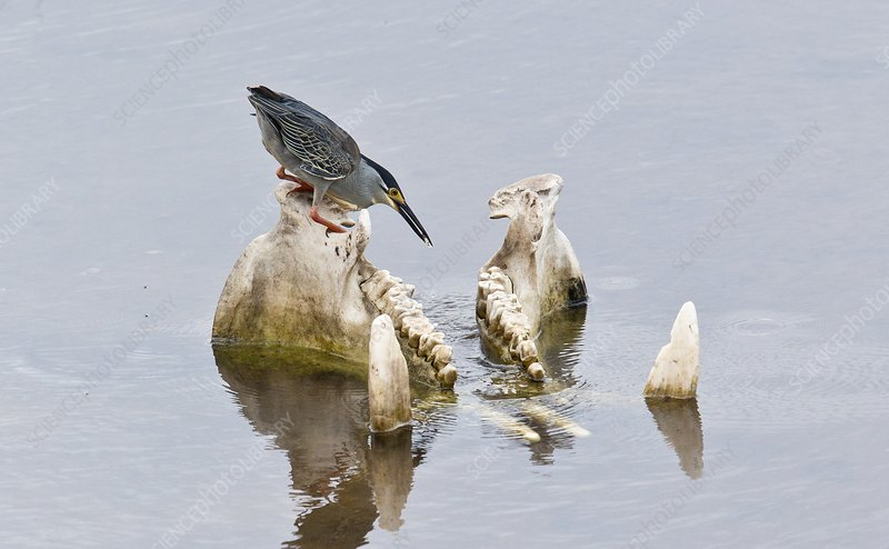 Green-backed heron on hippo skull