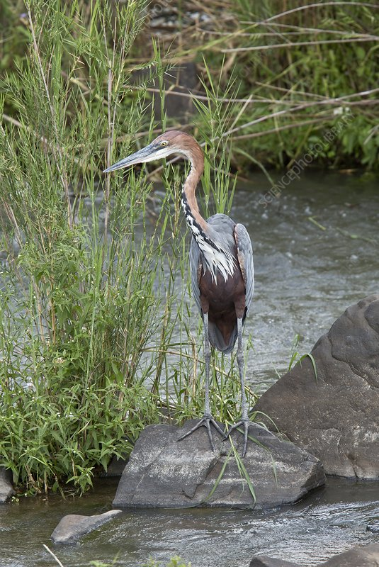 Goliath heron in a river