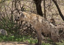 Spotted hyena in the shade