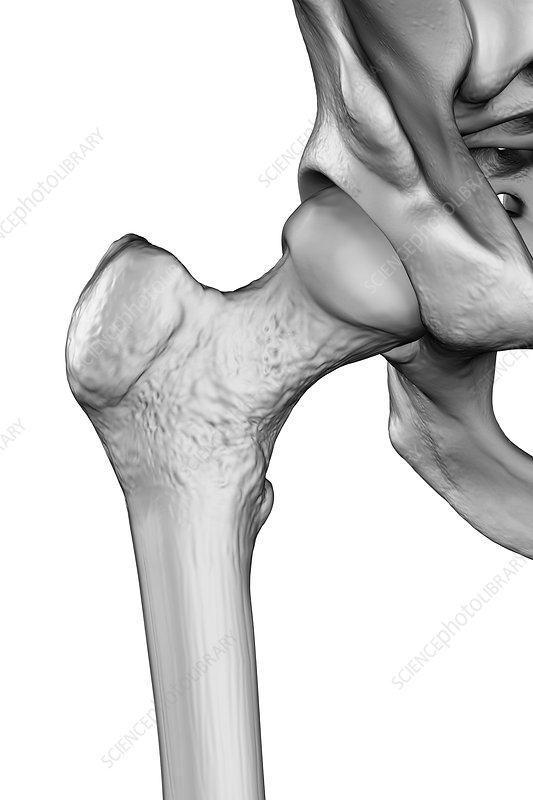 Hip Joint, illustration