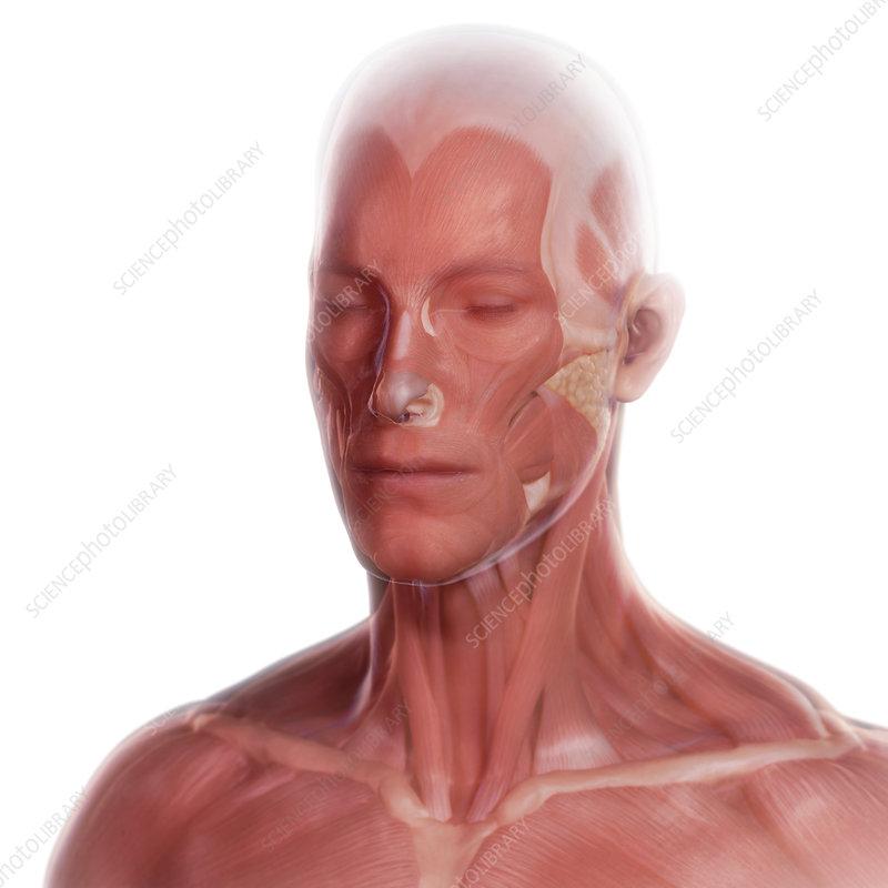 Facial Anatomy Illustration Stock Image C0255262 Science
