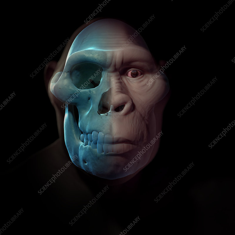 Australopithecus with Skull, illustration
